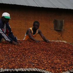 Togo : ouverture de la campagne de commercialisation du café et du cacao