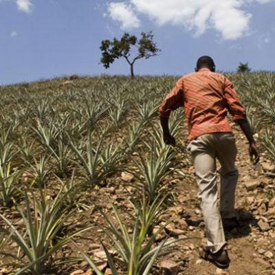 72056ogb pineapple rwanda