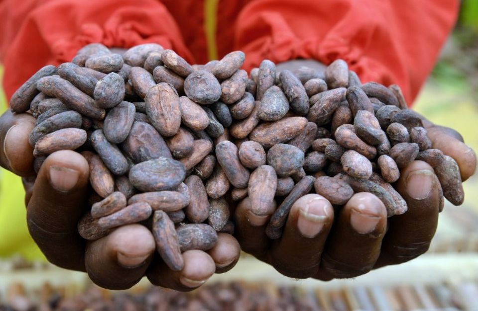 Côte d'Ivoire : maintien du prix d'achat en cours par les producteurs de cacao pour la campagne intermédiaire