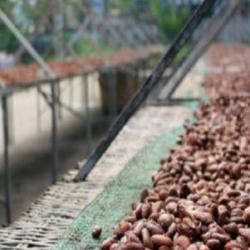 Côte d'Ivoire: la production de café reprend des couleurs