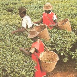L'Ouganda choisit le tourisme du café pour stimuler ses recettes