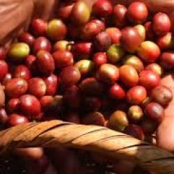 Madagascar veut préserver la qualité exceptionnelle de son cacao fin