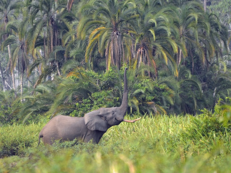 Congo odzala kokoua elephant wilderness safaris