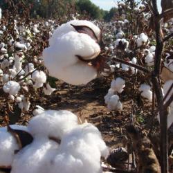 Bénin : les prévisions de la production cotonnière de la saison 2020-2021 revues à la baisse
