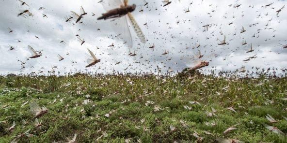 La FAO estime que le Kenya est en voie d'éradiquer les criquets pèlerins