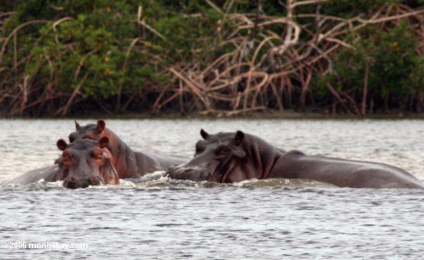 Couple d'hippopotames