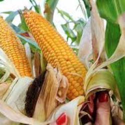 Le Kenya et la Zambie signent un accord pour faciliter le commerce du maïs