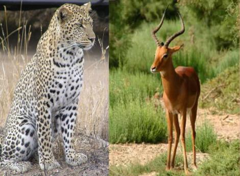 Panthe re et antilope