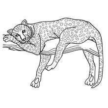 Panthere 1 01 qt5 6sr