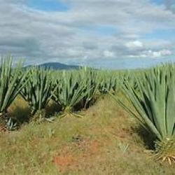 La Tanzanie dévoile des plans pour renforcer sa production de sisal