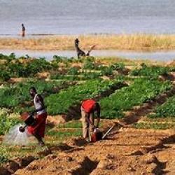 Tchad : lancement d'une campagne agricole sur fond d'insécurité alimentaire et nutritionnelle