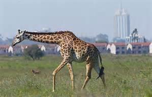 Hifadhi ya Taifa ya Nairobi ou parc national de Nairobi